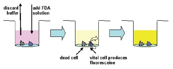 Fig. 6: Washing of lung cells, addition of FDA, and subsequent incubation
